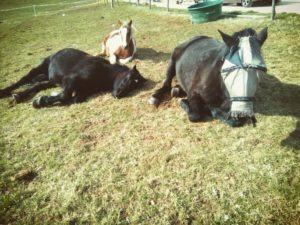 Nos chevaux font la sieste